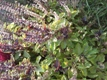 Purple Basil Seeds 5 oz